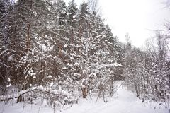 Fluffy snow has powdered the trees of the path in the winter forest has become like a fairy tale. All the paths in the forest were powdered and we could hardly stock photos