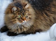 Big fat furry green eye cute cat in winter. Fluffy snowy mixed breed brown gray cat sitting in the snow surroundings royalty free stock photos