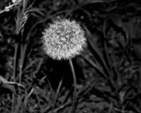 Fluffy and soft dandelion. royalty free stock photos