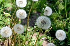 Fluffy and soft dandelions. stock photos