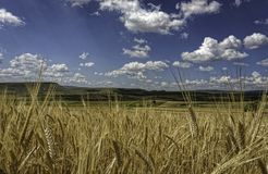 Fluffy soft white clouds on a deep blue sky above golden yellow wheat fields Stock Photo