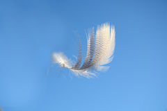 Fluffy soft white striped bird feather floating in the wind in a clear blue sky Royalty Free Stock Photography