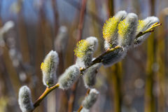 Fluffy soft willow buds Royalty Free Stock Images