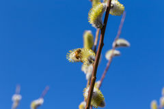 Fluffy soft willow buds Royalty Free Stock Photo