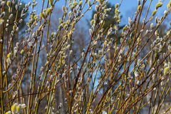 Fluffy soft willow buds in early spring Stock Photography