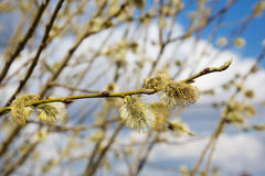 Fluffy soft willow buds in early spring Royalty Free Stock Image