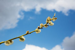Fluffy soft willow buds in early spring Royalty Free Stock Photography