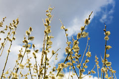 Fluffy soft willow buds in early spring Stock Images