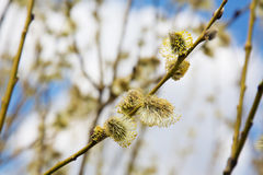 Fluffy soft willow buds in early spring Stock Photo