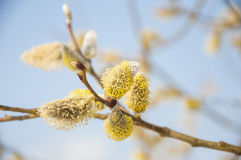 Fluffy soft willow buds in early spring. Royalty Free Stock Images