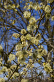 Fluffy soft willow buds in spring. Stock Image