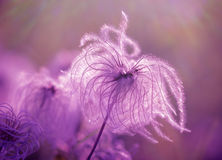 Fluffy - softness flower Stock Image