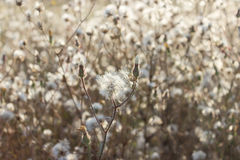 Fluffy sow thistle, hare thistle, seedheads, natural background Royalty Free Stock Photo