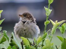 Fluffy sparrow puffed up. Puffed up sparrow after a rain storm Stock Photography