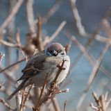 Fluffy sparrow on a twig looking at the camera. A view of a fluffy sparrow on a twig looking at the camera Royalty Free Stock Image