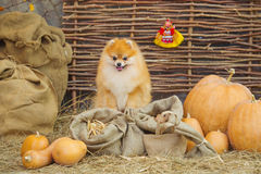 Fluffy spitz dog and pumpkins Royalty Free Stock Photo