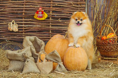 Fluffy spitz dog and pumpkins Royalty Free Stock Photos