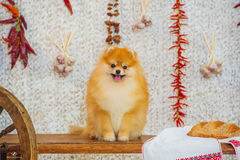 Fluffy spitz dog and red peppers Stock Photos