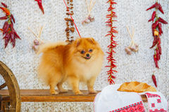 Fluffy spitz dog and red peppers Royalty Free Stock Photography