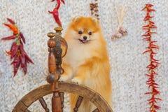 Fluffy spitz dog Stock Photos