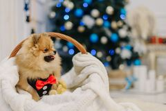 Fluffy spitz with red bow tie sits in a basket before Christmas royalty free stock image