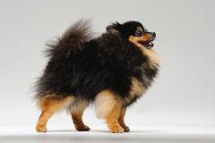 Fluffy spitz standing. On a gray background Royalty Free Stock Photos