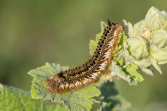Fluffy spotted caterpillar crawling on a plant leaf. Royalty Free Stock Photo