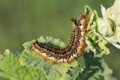 Fluffy spotted caterpillar crawling on a plant leaf. Stock Images