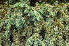 Fluffy spruce branches as background Stock Photography