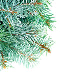 Fluffy Spruce Branches Royalty Free Stock Photo