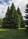 Fluffy spruce trees in the forest. Stock Photography