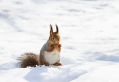 Fluffy squirrel eating nuts on a white snow in the winter forest Royalty Free Stock Images