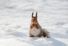 Fluffy squirrel eating nuts on a white snow in the winter forest Stock Photo