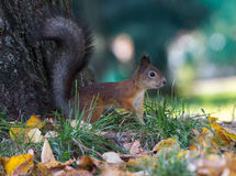 Fluffy squirrel on the grass in the park. Waiting for something Royalty Free Stock Image