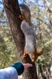 Fluffy squirrel held by claws on a tree and eating nuts from young girl hand in a resort park, sunny day, the city of Yessentuki, royalty free stock photography