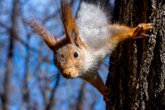 Fluffy squirrel held by claws on a tree in a resort park and looking ahead, sunny day, the city of Yessentuki, close-up, selective royalty free stock image