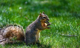Fluffy squirrel holding, eating a nut, peanut. Green grass background Royalty Free Stock Photography