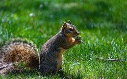 Fluffy squirrel holding, eating a nut, peanut. Green grass background Royalty Free Stock Photo
