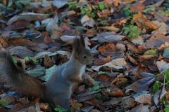 Fluffy squirrel in the park. Fluffy red squirrel in the autumn park Stock Photos