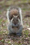 Fluffy squirrel in the park Stock Images