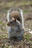 Fluffy squirrel in the park Royalty Free Stock Images