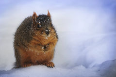Fluffy squirrel in the snow. stock photography
