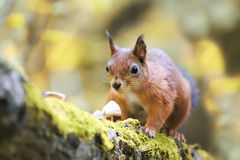 fluffy squirrel walking in the woods and collecting mushrooms and nuts Royalty Free Stock Photo