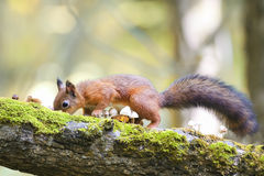 Fluffy squirrel walking in the woods and collecting mushrooms and nuts Stock Images