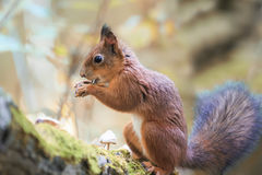 Fluffy squirrel walking in the woods and collecting mushrooms and nuts Royalty Free Stock Photography
