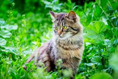 A fluffy striped cat sits on the grass and looks aside_. A fluffy striped cat sits on the grass and looks aside royalty free stock image