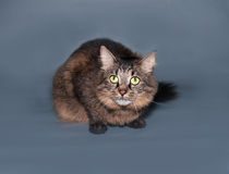 Fluffy striped siberian cat lies on gray Royalty Free Stock Photos