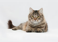 Fluffy striped siberian cat lies on gray Royalty Free Stock Photography