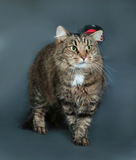 Fluffy tabby cat in black hat standing on gray Royalty Free Stock Photo
