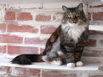 Fluffy tabby cat sitting on brick red wall Royalty Free Stock Images